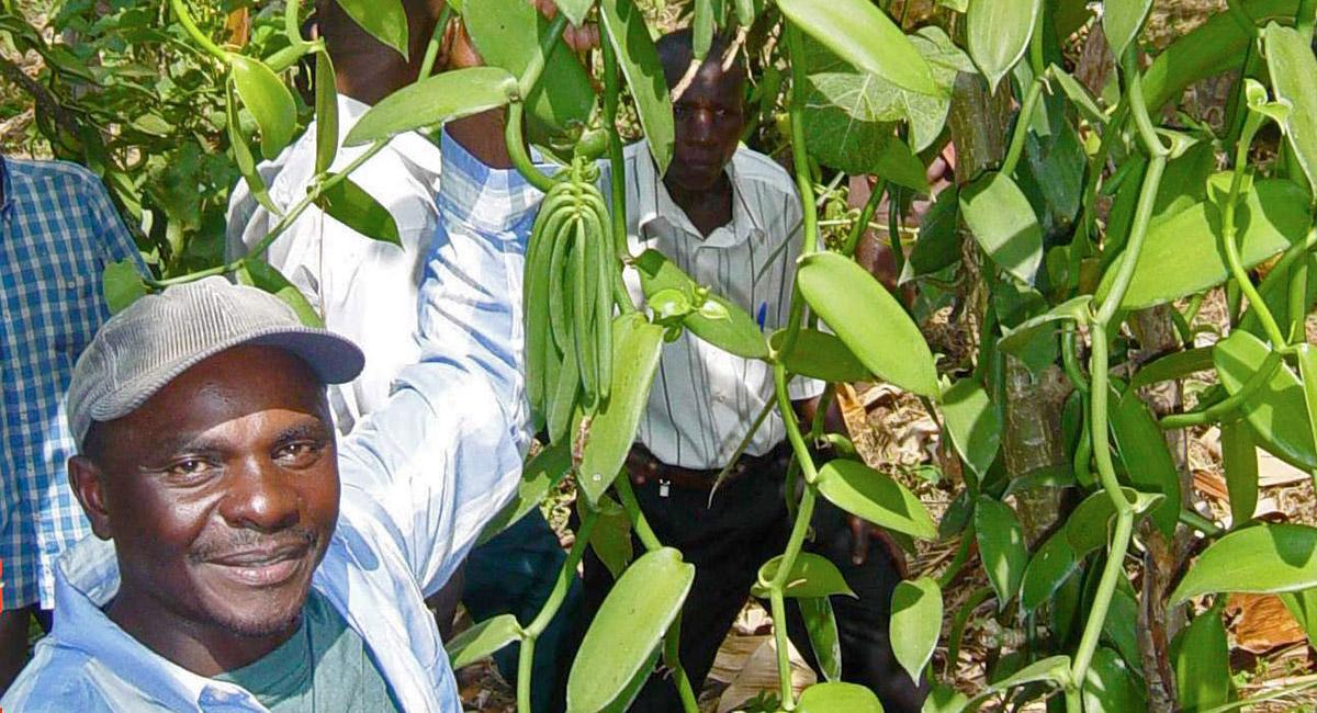 vol terra vanilla plant